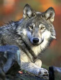 T graywolf kramer
