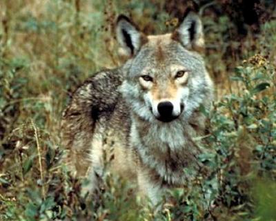 File:Eastern wolf.jpg
