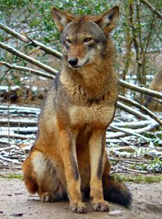 File:Red-Wolf.jpg