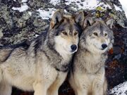 Tawny wolves