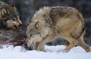 Gnaw-wolf