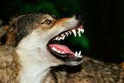 Wolfsnarlingjpegforevermean-lookingwolfabouttofightwolvesaresosososocool.com