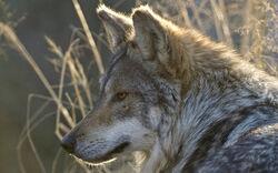 Large-gray-wolf-photo