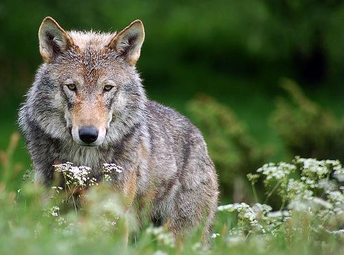File:Wolf 2.jpg