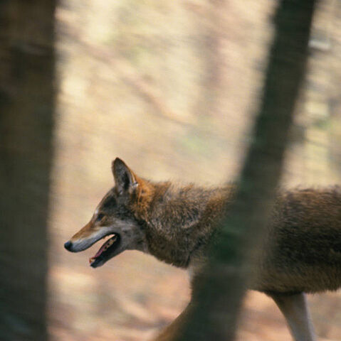 File:Red wolf (Canis rufus).jpg