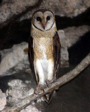 Sulawesi Owl (Tyto rosenbergii rosenbergii)