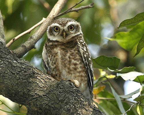 File:070224 spotted owl Q0S2745.jpg.jpg