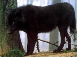 File:Black wolf.jpg2.jpg