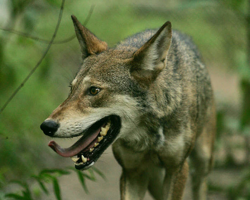 File:Endangered red wolf (Canis rufus).jpg