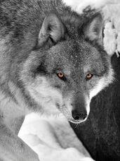 Pale gray wolf
