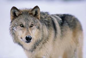 File:Wolflarge-1-.jpg