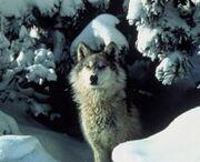 250px-Gray-wolf
