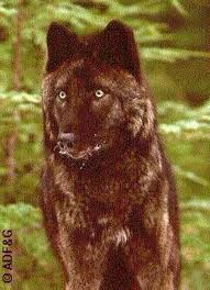 File:Aawolf2.jpg