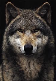 File:AlaskanTwolf8.jpg