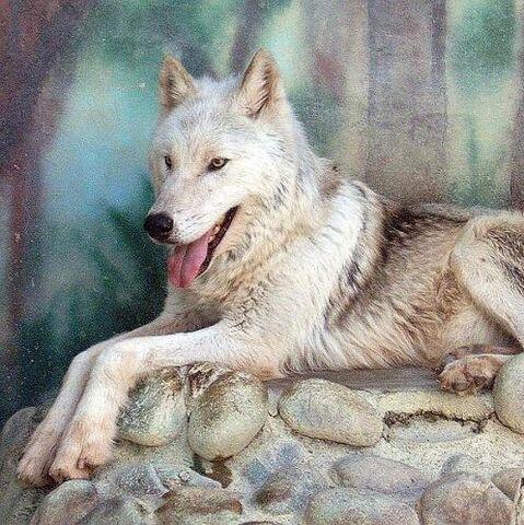 File:82505702mackenzie tundra wolf 5.jpg