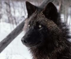 File:AlaskanTwolf2.jpg
