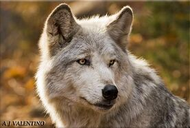 Tundra wolf01a