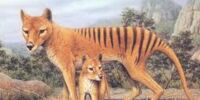 Tasmanian wolves