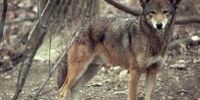 Florida Red wolves