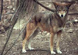 a history of the species canis rufus also knows as red wolf We discuss history of the species,  they are also species humans are likely to encounter in shallow water along beaches,  canis rufus, the red wolf,.