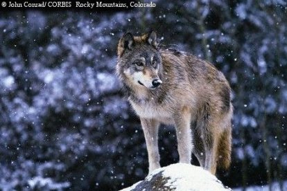 File:Northern rocky mountain wolf.jpg