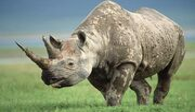 Western-Black-Rhino