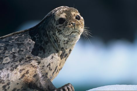 File:Harbor Seal6.jpg
