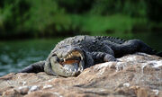 Crocodile-portrait-photography