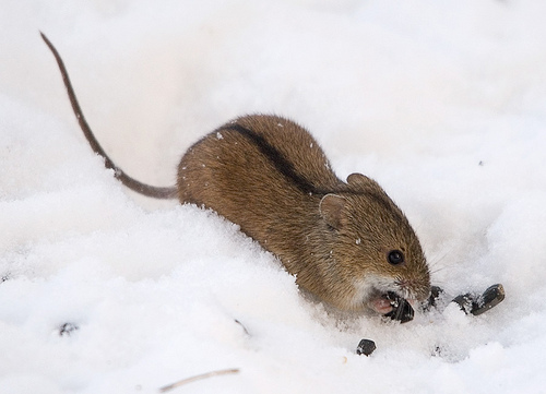 File:Striped mouse.jpg