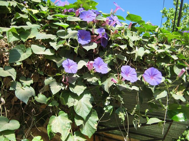 File:Morning glory 999.JPG