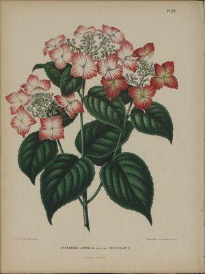 Afbeelding-057-Hydrangea macrophylla.tif