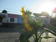 Common sunflower G 1162