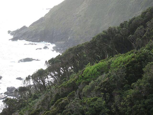 File:Bosque de olivillo en Punta Curinanco.jpg