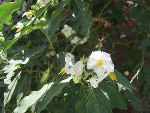 Solanum 3184