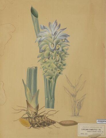 File:Naturalis Biodiversity Center - L.0939330 - Bernecker, A. - Curcuma domestica Valeton - Artwork.jpeg.jpeg