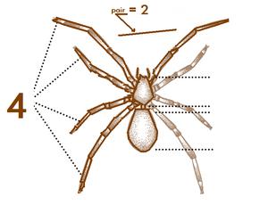 Ana Spider-characteristics