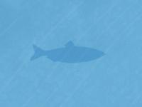 Coastalherring shape