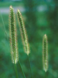 File:Yellowfoxtail.jpg