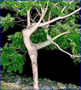 Ladytree
