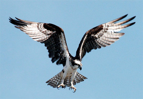 File:Osprey-diving.jpg
