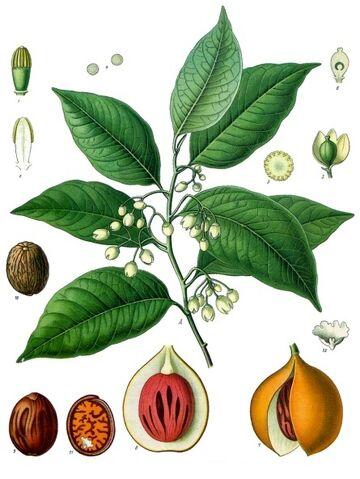 File:Myristica fragrans.jpg