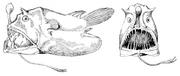 Linophryne lucifer