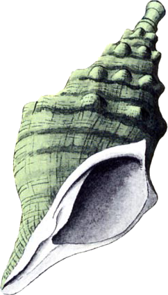 File:Conch Horn.png