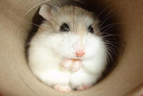 File:Dwarf-hamster-grooming.jpg