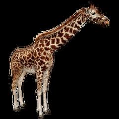 Masai Giraffe remake.
