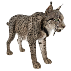 Spanish Lynx remake.
