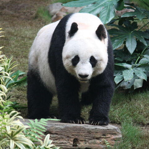A giant panda at Ocean Park, Hongkong