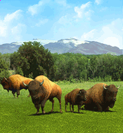 American Bison-0