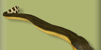 Pelagic Sea Snake