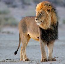 620african-lion-standong
